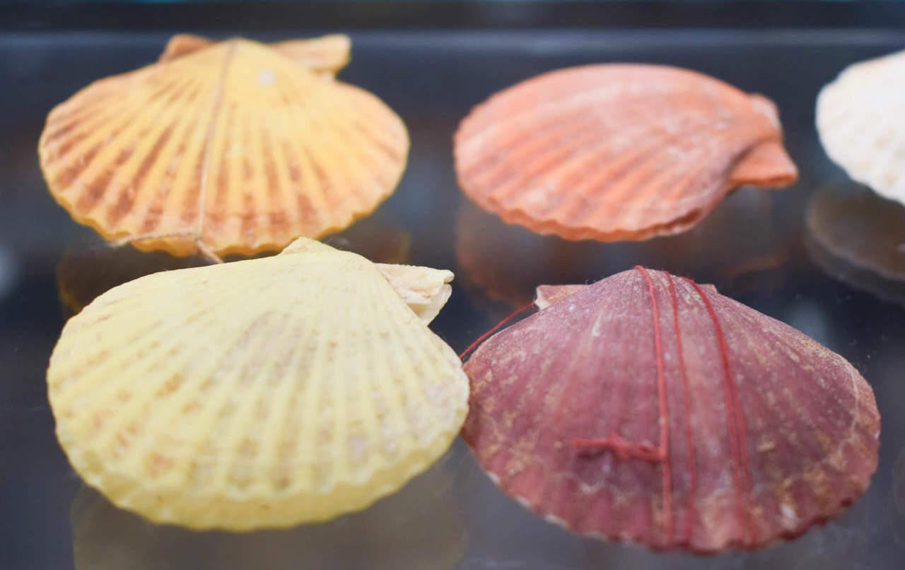 Detalle de conchas de la coleccion de Malacologia - Manuel suarez Mares de Cedeira