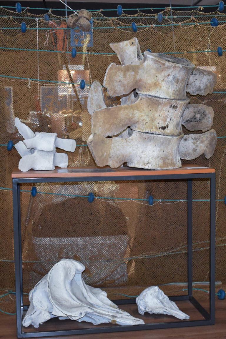 Partes de la espina de una ballena cazada por barcos cedeireses - Pedazos de Historia